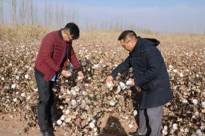 秋天丰收期间,一望无际的新疆长绒棉农田在阿克苏随处可见