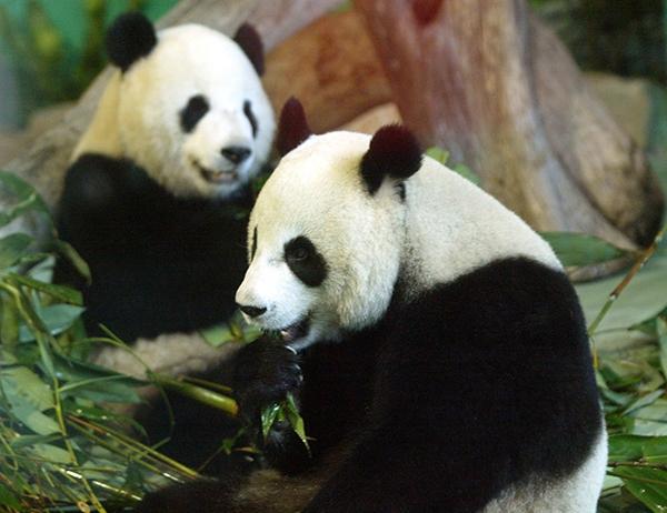 台北动物园的猫熊团团圆圆开心吃竹子.