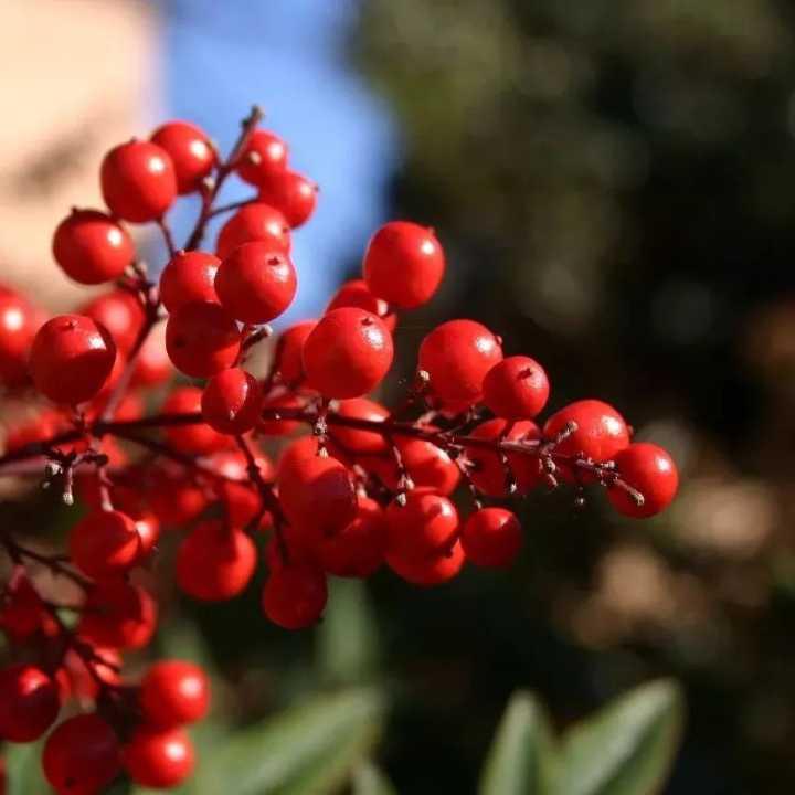 营养 | 吃蓝莓OUT啦,美容养颜还得靠这颗红果子!
