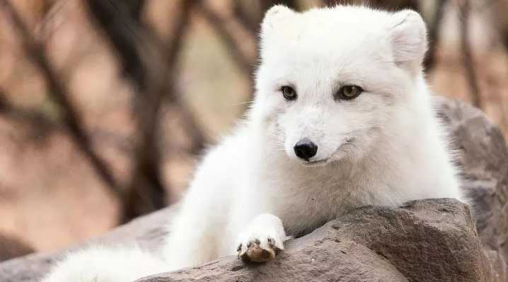 纯白的狗狗萨摩耶,会不会是北极狐的后代?