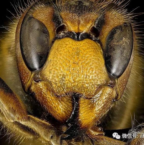 欧洲最大的胡蜂-黄边胡蜂
