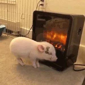一只烤着火的乳猪,真香。。