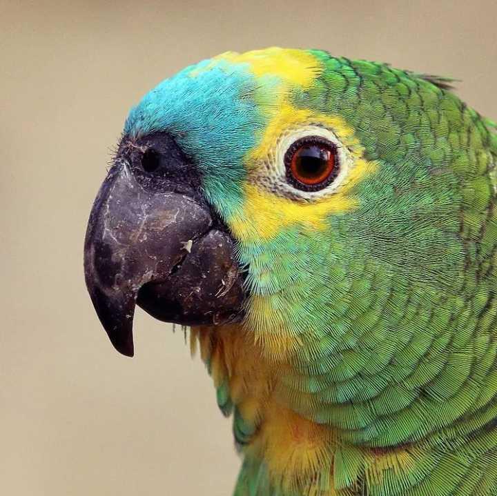 物种图册-蓝顶林鹦