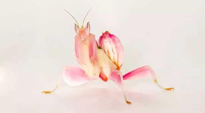 当螳螂有了少女心,兰花也要甘拜下风!