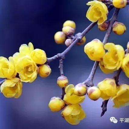 平湖城的蜡梅开了,这些地方已经美得不像话了!