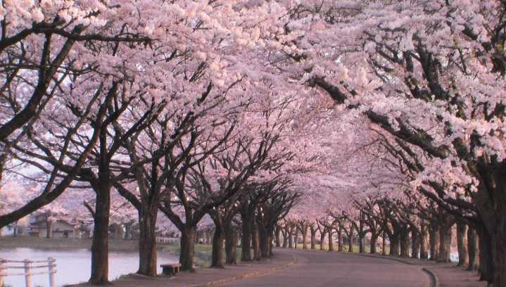 新的一年,让盛开的早樱温暖你的冬日