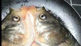 剁椒鱼头,不要辣眼睛!