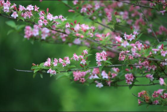 西溪花朝节4月23日至4月26日赏花指南