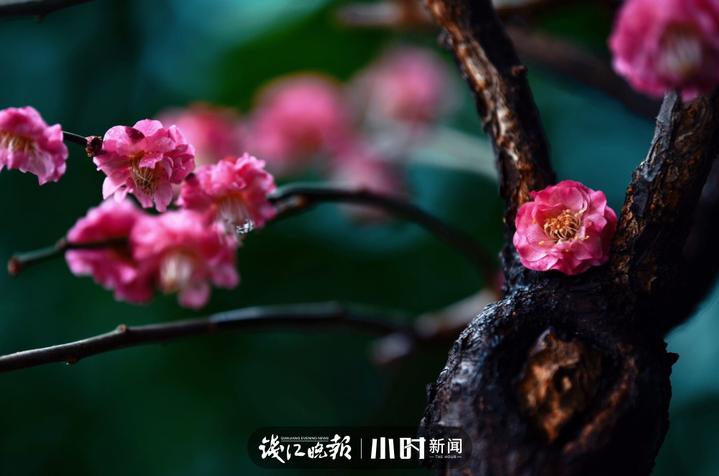 温雨:宅家阳台拍盆栽红梅 (2).jpg