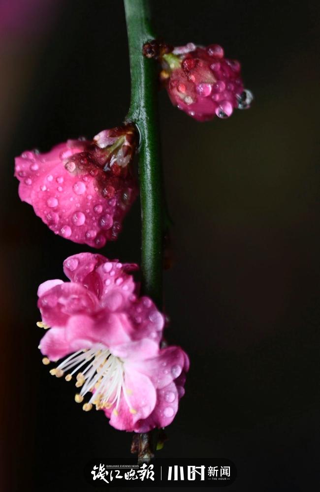 温雨:宅家阳台拍盆栽红梅.jpg