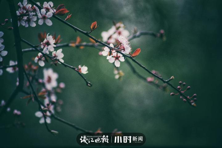紫叶李开花了 保哥 (1).jpg
