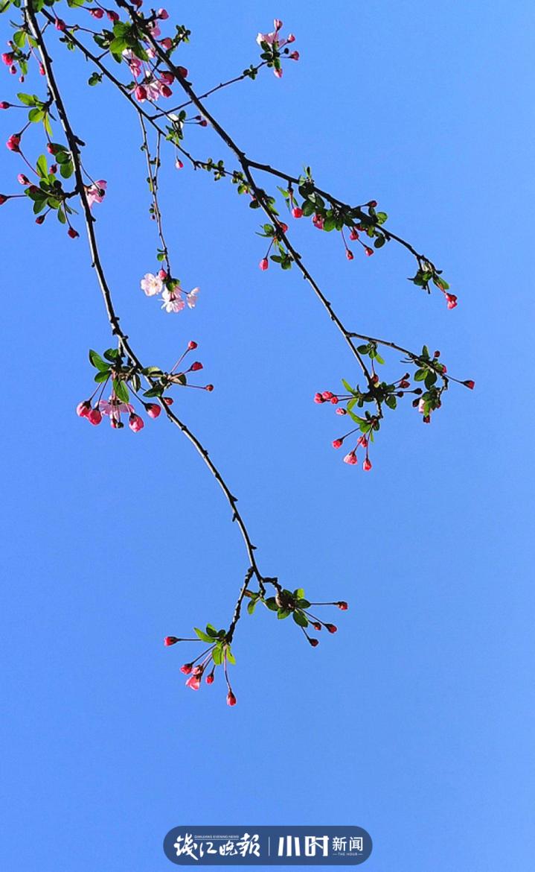 《报春》海棠花(13805733071.png