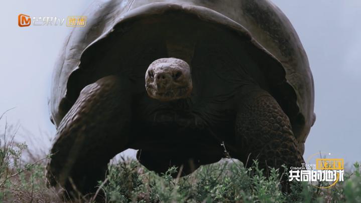 """《【杏鑫娱乐佣金】你见过500斤的象龟吗?《致我们共同的地球》走近""""象龟妈妈""""郝梦媛》"""