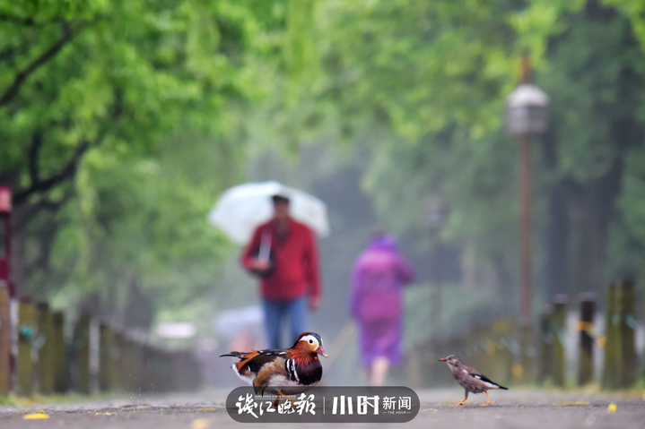 5、杭城秋雨几时休?你听,西湖边的孤山附近,小麻雀与鸳鸯路上相遇,开始窃窃私语:老哥,这个雨什么时候才会停啊!阿乐头 摄.jpg