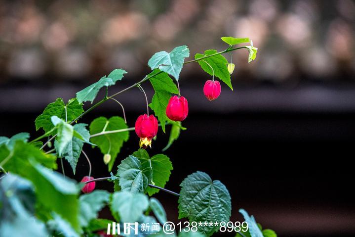 红萼茴麻花1.jpg