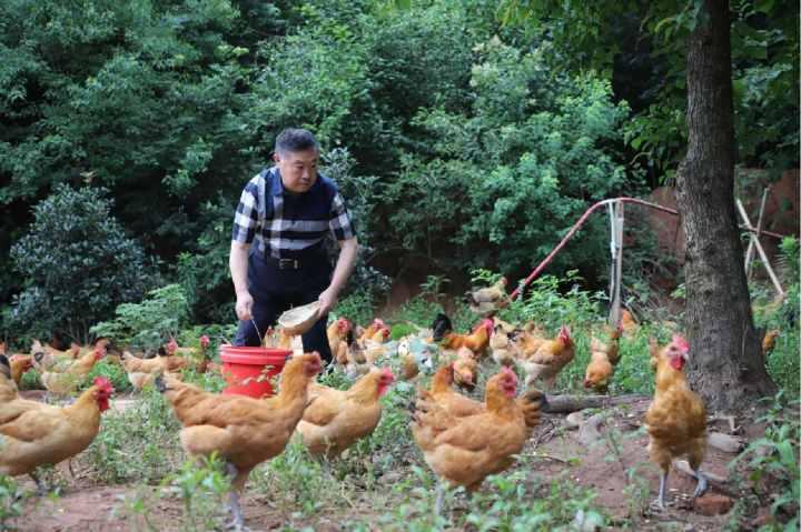 董事长养鸡.jpg