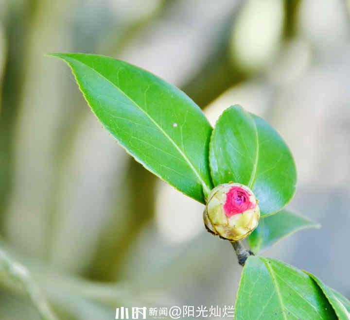 山茶花2.jpg