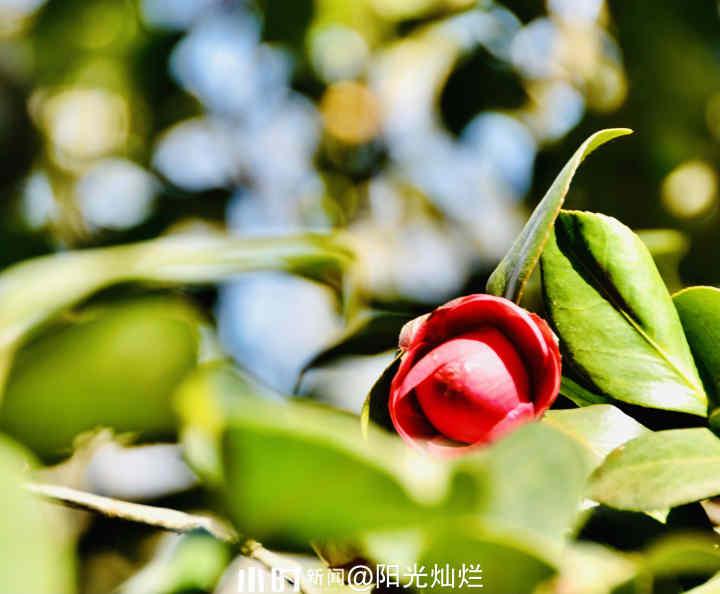 山茶花3.jpg