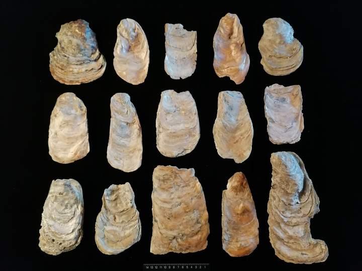 图10 大牡蛎壳制作的贝器.jpg