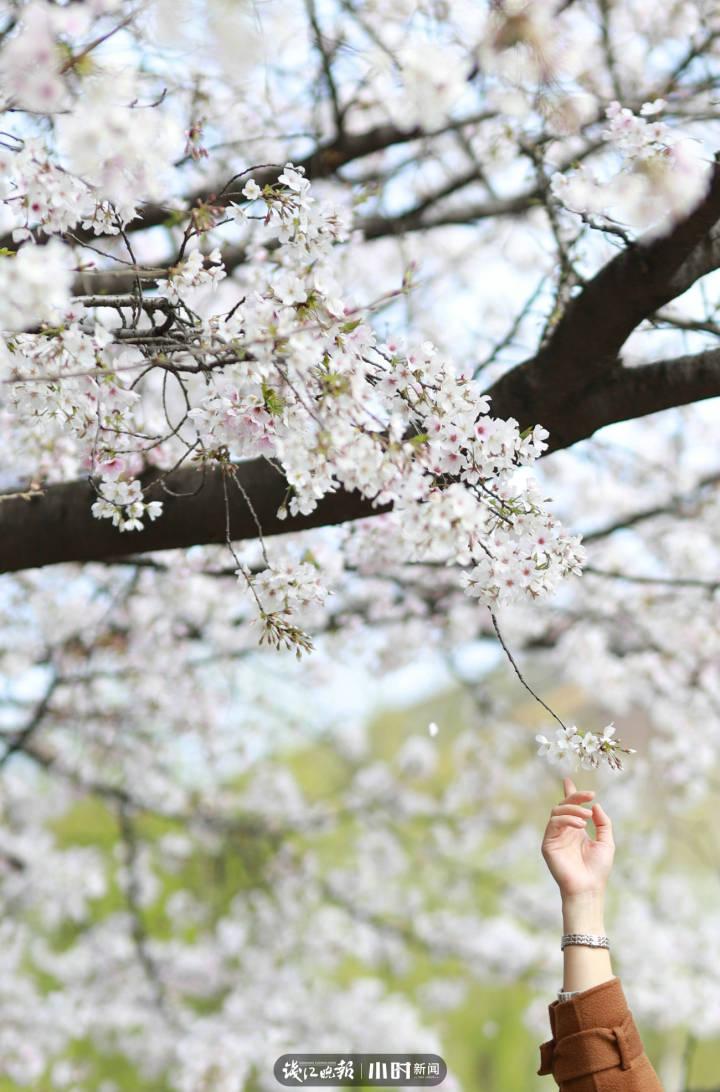 MxH 信义坊,樱花树下,一位姑娘伸长了手,差一点就够到了花.jpg