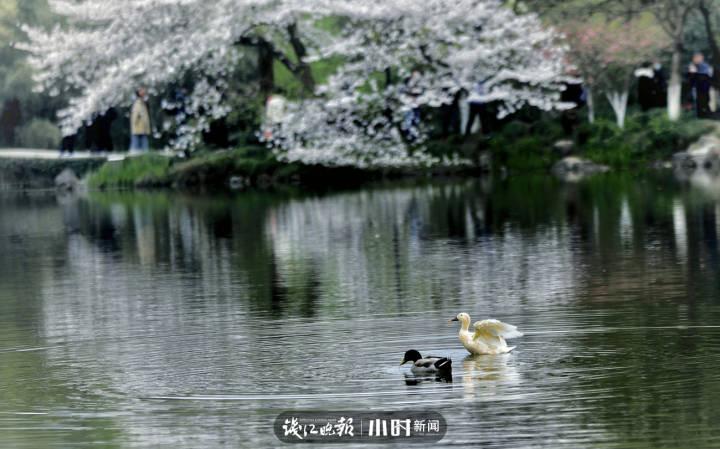 海纳百川 花港,花港樱花打卡地的鸭子也是一道风景 (3).jpg