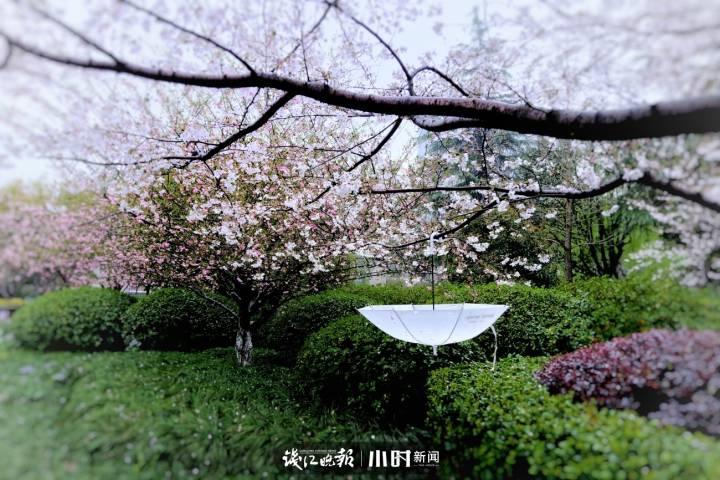 海纳百川 樱花季,家门口就有最美樱花景。 (3).jpg
