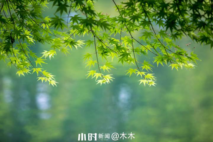 枫叶.jpg