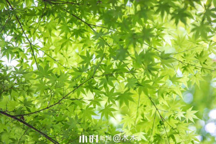 枫叶2.jpg
