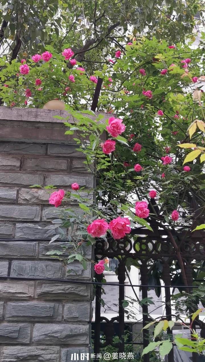 红蔷薇.jpg