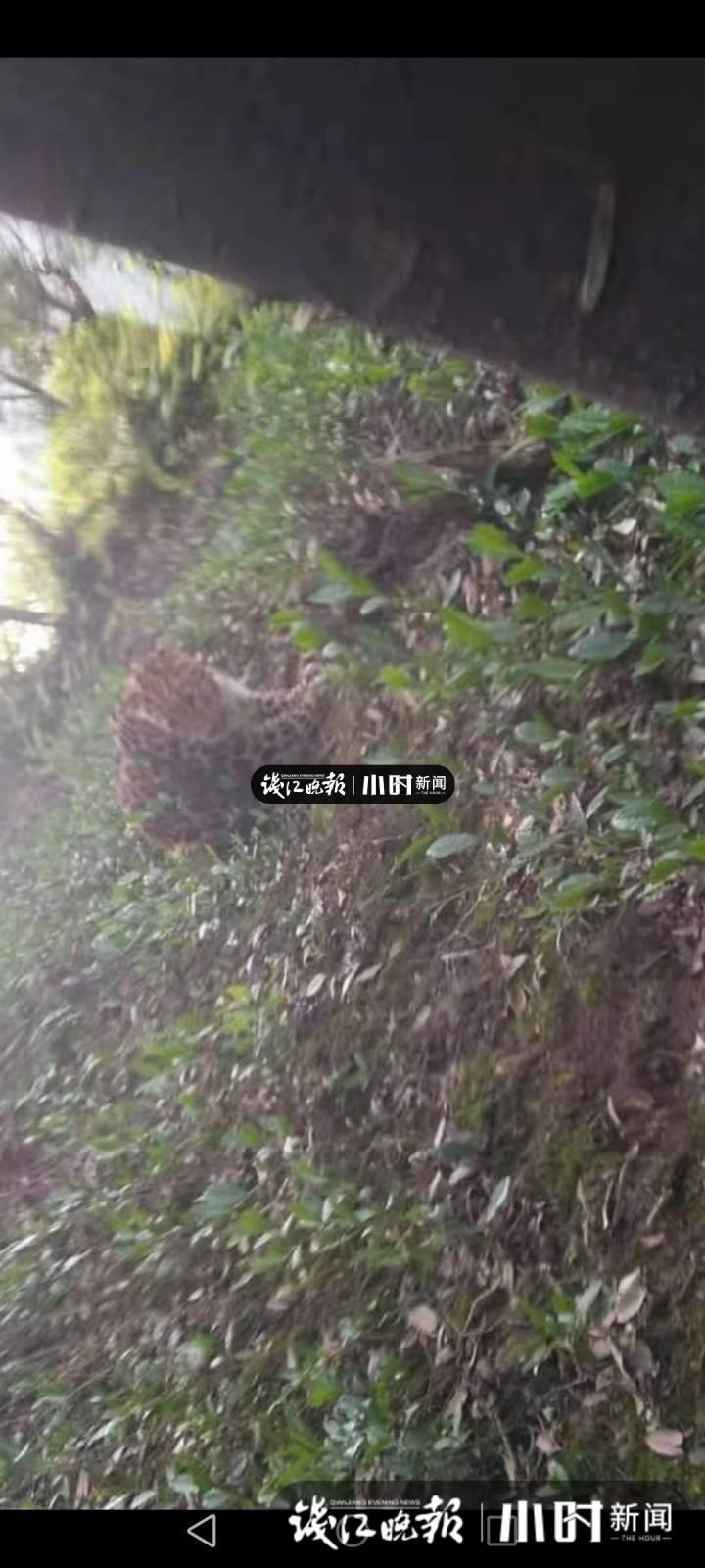 杭州金源山庄小区四周发明疑似豹子