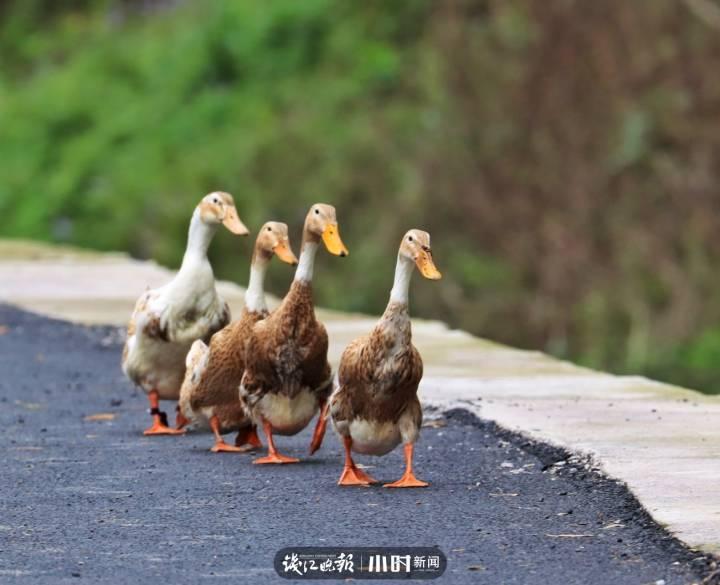 卢翔:一二一,没有想到鸭鸭们队列这么整齐,是哪位老师培训出来的呀.jpg