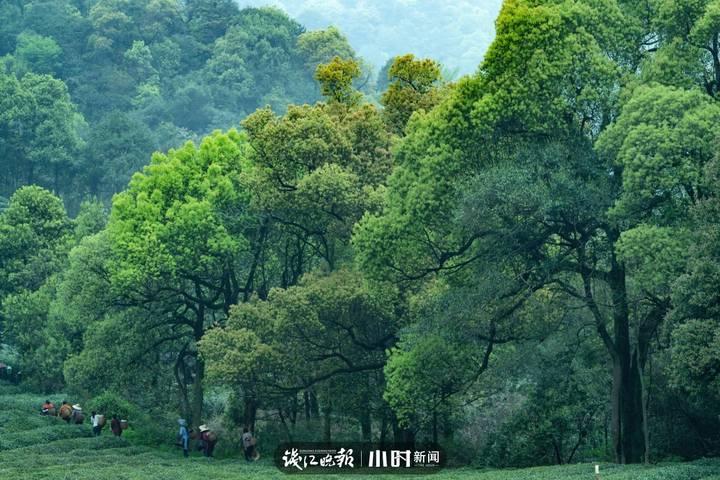 诺亚芳洲:茶山之美,云雾缭绕,春意盎然。.jpg