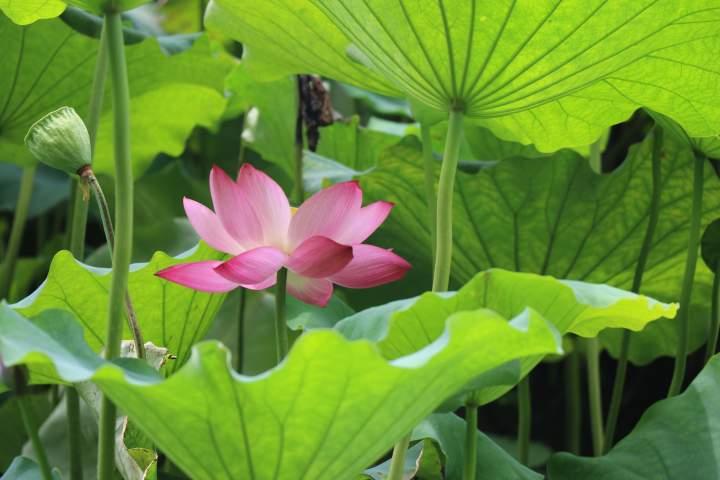 lotus-4317639.jpg
