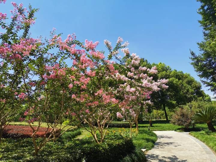 四桥公园紫薇照片 2.jpg