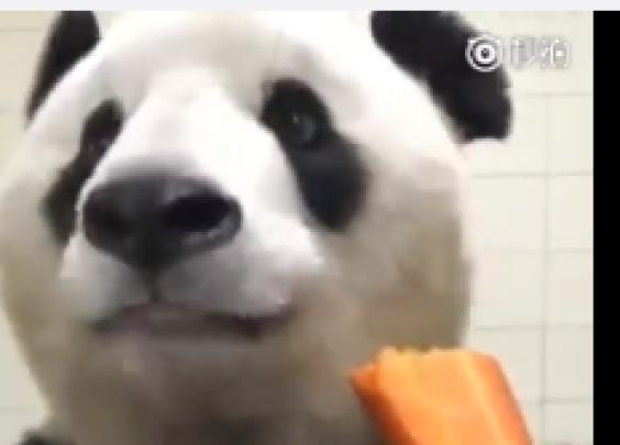 都2018年了,我还是花了整整一分钟看熊猫吃胡萝卜