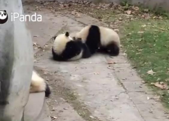 熊猫界的博尔特,你已超速,你已超速!