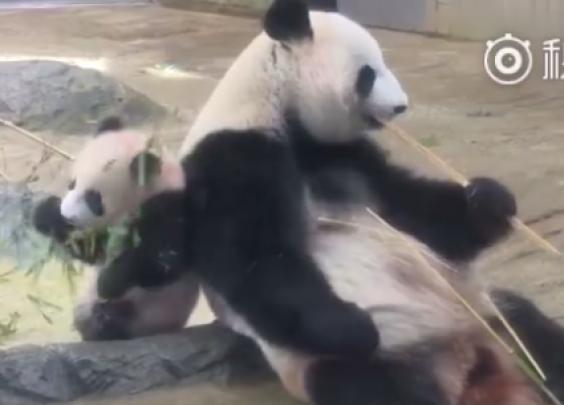 熊猫香香要加班?