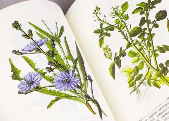 叶是绿的花是白的根是红的,为啥偏偏要叫紫草?