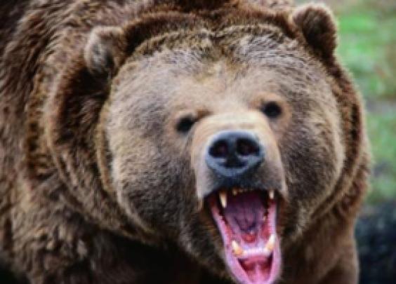 遇到熊装死?可能你就真死了