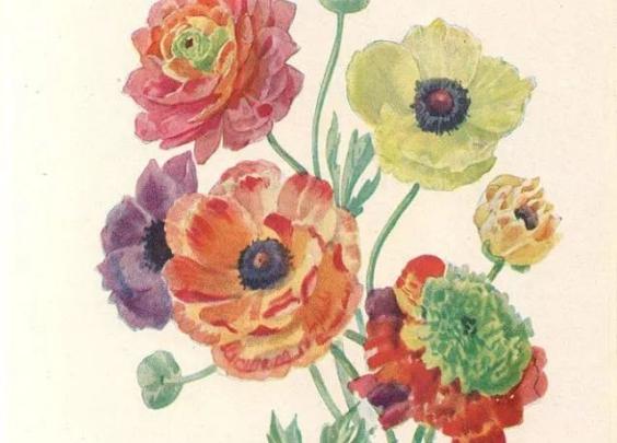很难再找到一种植物,能媲美花毛茛丰富的花色