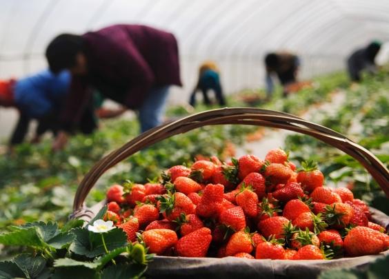 摘草莓么 既要玩得开心更要吃得放心