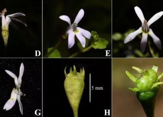 科学家发现桔梗科半边莲属植物新种