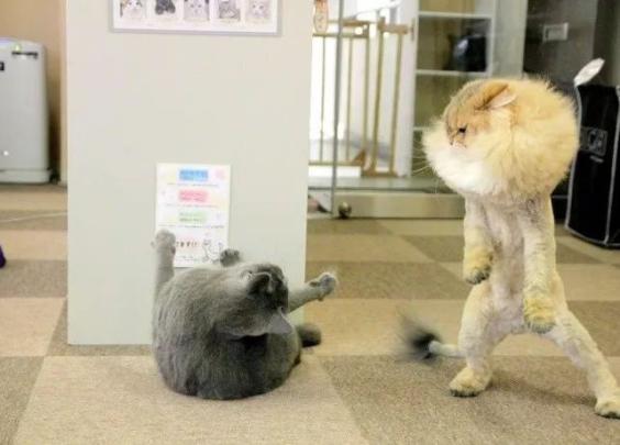 主人以为猫咪剃了毛会自卑,没想到啊,打起架来气...