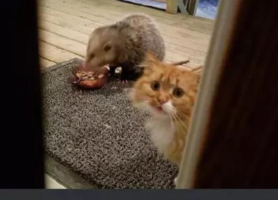 橘猫的猫粮被负鼠霸占,橘猫想吃又害怕,这表情笑...