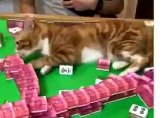 主人在打麻将,橘猫非得来凑热闹,于是...