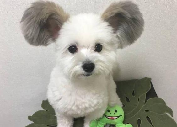 一只长着米奇耳朵的狗狗,超萌啊~