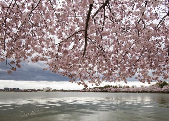 樱花虽然可以吃,但可不是人人都适用哦