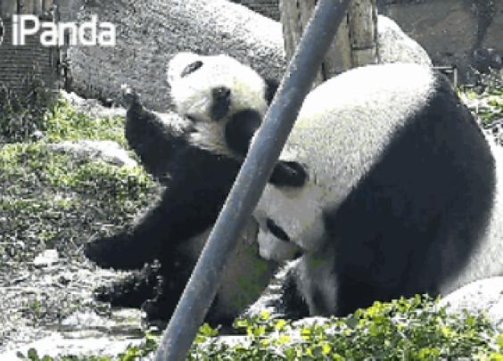 熊猫TOP榜 | 厉害了我的滚滚