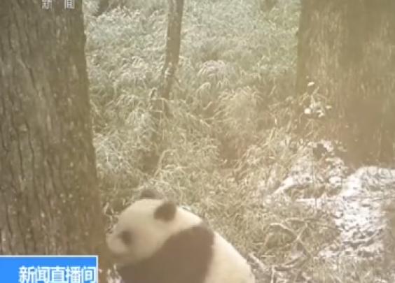 卧龙首次拍到野生大熊猫母子同框