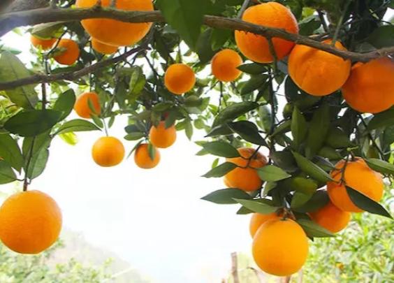 一方水土养一方橙 ,晚熟造就独特风味